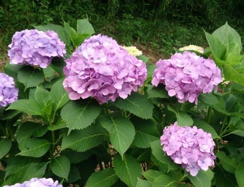 紫陽花が開花しました